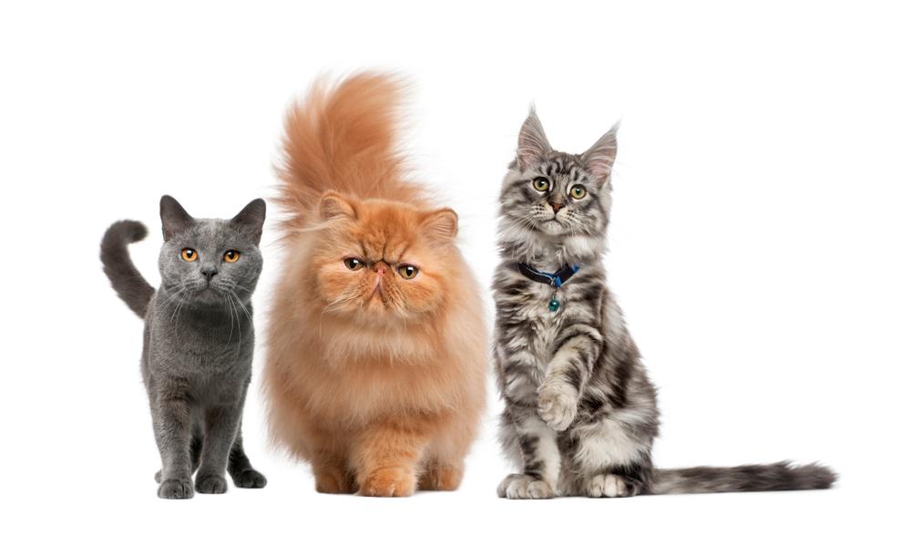 Sindrome Urologica Felina